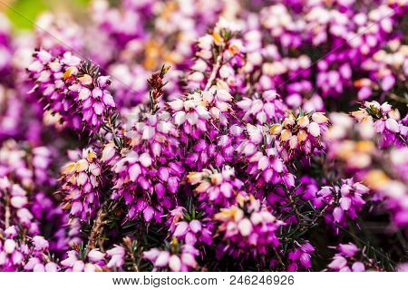 Common heather flower ( Calluna vulgaris ) in pink or velvet color for background poster
