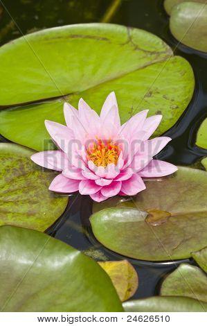 close-up lotus flower