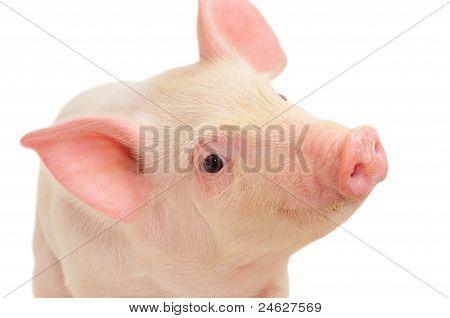 Portrait Of A Pig