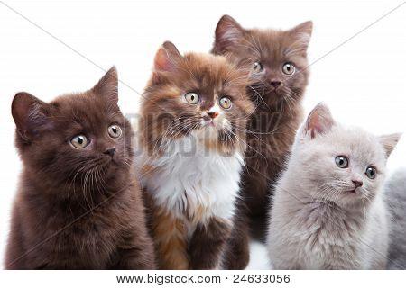 Four Cute Brititsh Kittens