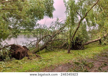 A Fallen Tree After Hurricane. Effects Of A Hurricane. Disaster