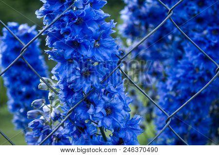 Blooming Blue Delphinium Elatum Flowers Growing Through Rabitz