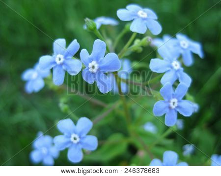Forget-me-not Blooms Pale Blue Flowers. Blooms Forget-me-not Spring.