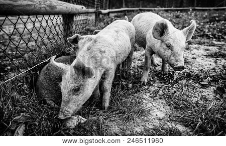 Small Pigs On A Farm, Detail Of Mammals, Wildlife