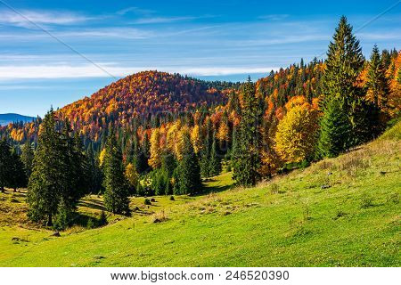 Beautiful Autumnal Landscape Of Apuseni Mountains. Colorful Foliage On Trees. Tall Spruce Trees On T