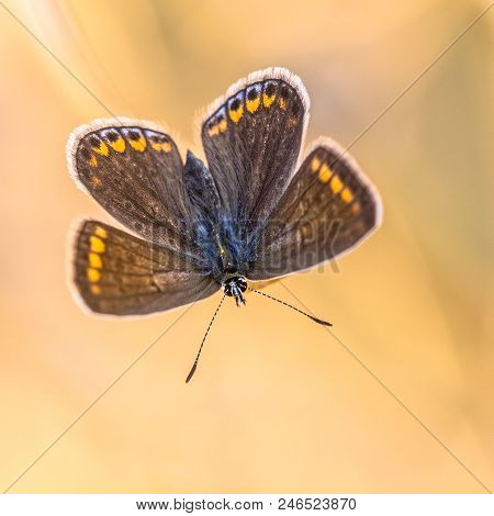 Butterfly brown argus (Aricia agestis) mimicing flower on bright orange background poster