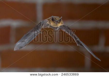 Nocturnal Pipistrelle Bat (pipistrellus Pipistrellus) Close Up. Flying In Urban Setting With Bricks