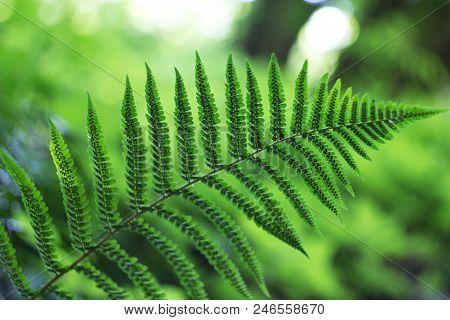 Ferns (polypodiophyta) Are A Detachment Of Sprue Vascular Plants, Or Pteridophyta, Whose Representat
