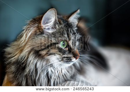 A Portrait Of The Russian Siberian Cats. Close Up. Copy Space.