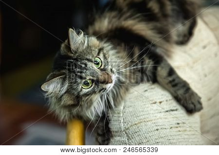 A Portrait Of The Russian Siberian Cats. Cat Attacks. Close Up. Copy Space.