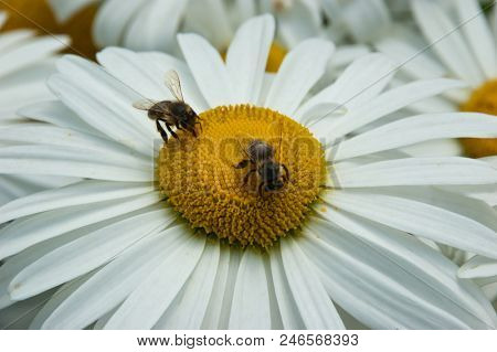 Two bees are sitting on white chamomile flower