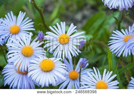 purplre chamomiles flowers macro shot