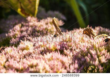 Crassulaceae stonecrop flowers and beee