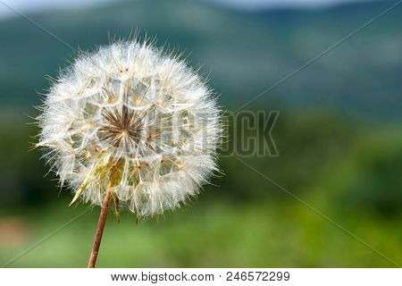 Closeup picture of Dandelion.