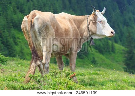Cows. Cows Grazing On A Green Field. Cows On The Alpine Meadows. Beautiful Alpine Landscape With Cow