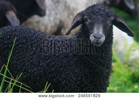 Face Of A Black Sheep Ewe Looking Directly At Camera In The Spring