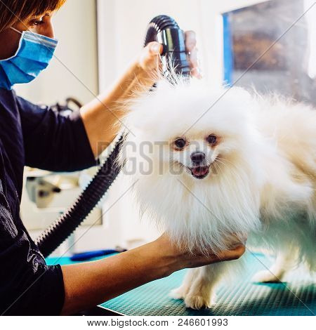 Pomeranian Dog On The Table For Grooming In Salon For Dogs. Toned Image. The Concept Of Popularizing