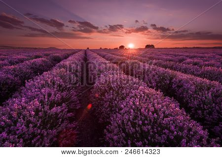 Lavender Fields. Beautiful Image Of Lavender Field. Summer Sunset Landscape, Contrasting Colors. Dar