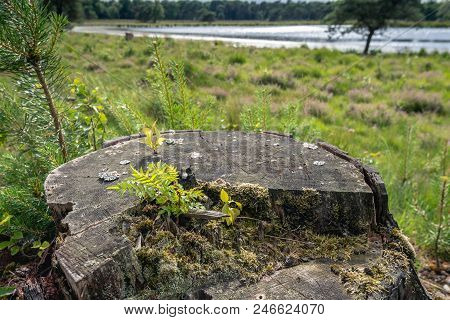 Tree Stump Of A Felled Pine Tree In A Dutch Nature Reserve. A Large Variety Of Wild Plants Grows On