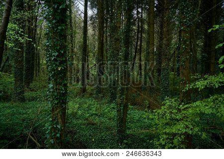 Dark Green Spring Forest In The Republic Of Ireland.