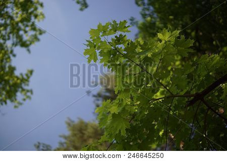 Green Crones Of Trees Against The Blue Sky