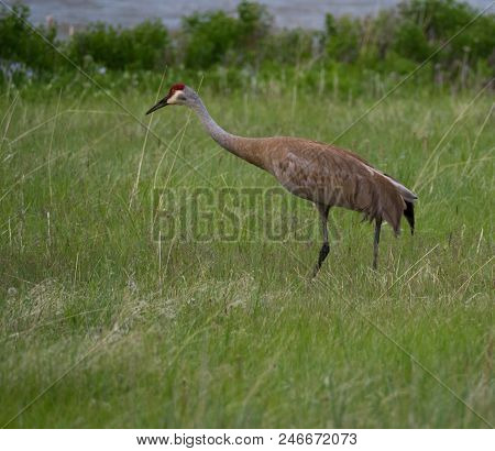 An adult sandhill crane walking through tall grass with a river in the background. The elegant crane has tan and gray feathers, a feather bustle and a crimson cap. poster