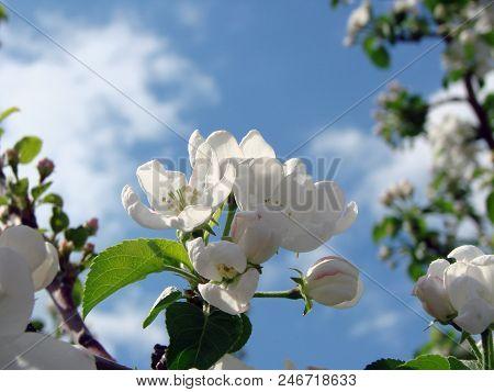 Apple Flower Of The Garden, Omsk Region, Siberia, Rossia