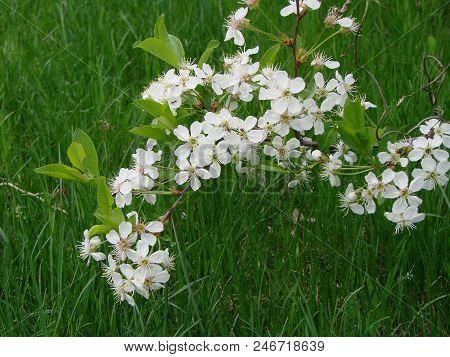 Cherry Flower Of The Garden, Omsk Region, Siberia, Rossia