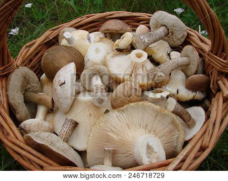 Mushrooms Of The Siberian Forest, Omsk Region, Russia