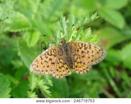 Butterfly In The Garden Omsk Region, Siberia, Russia