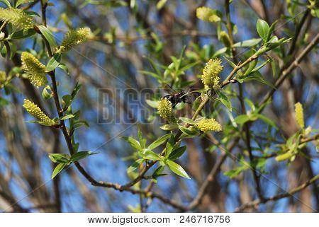 Flowers Spherical Willow, Siberia, Omsk Region, Russia