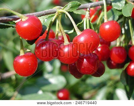 Cherry With Drop Rain, Omsk Region, Siberia, Russia