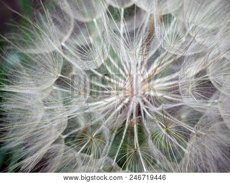 Dandelion Seeds Close-up, Macro. Omsk Region, Russia