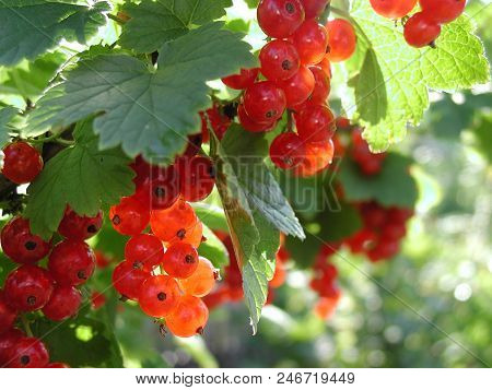 Red Currant In The Garden, Omsk, Western Siberia, Russia