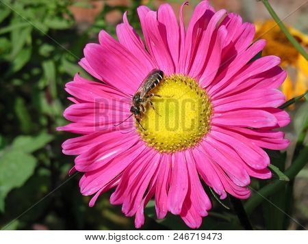 Pink Aster, Garden, Omsk Region, Siberia, Russia