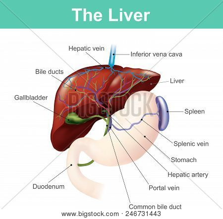 The Liver Is The Only Human Internal Organ Capable Of Natural Regeneration Of Lost Tissue.this Is Ho