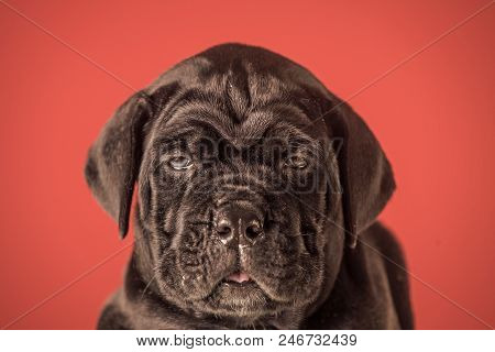 Puppy Of A Mastiff. New Year, Cute Puppy On Red Background. Pet Present And Winter Party. Year Of Do