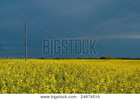 A Field Of Yellow Canola Against A Blue Grey Sky