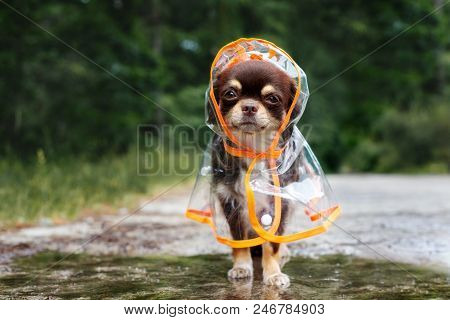 Funny Chihuahua Dog Posing In A Raincoat By A Puddle Outdoors
