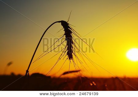 wet ears of ripe wheat on sunset