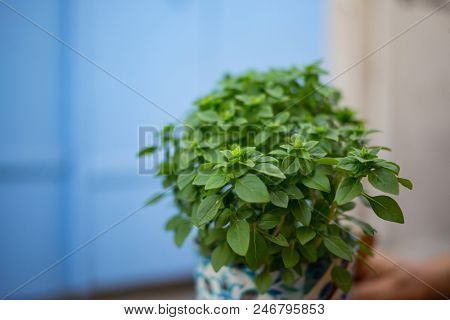 Fresh basilicum in a flowerpot. Green leaves of basil plant. Blur blue background, close up, space for text.