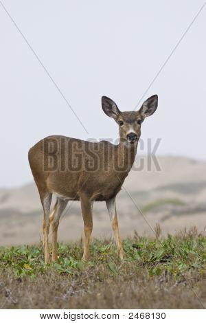 Staring Deer