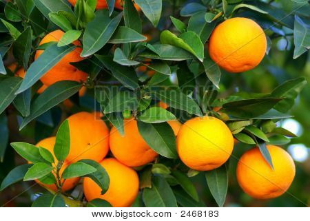 Oranges On The Tree.