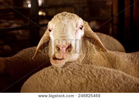 Funny Animal Portrait Of Sheep With Opened Mouth, Funny Face, Funny Animal.