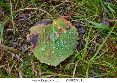 Drops Of Water On A Falling Leaf Of A Tree, South Bohemia, Czech Republic