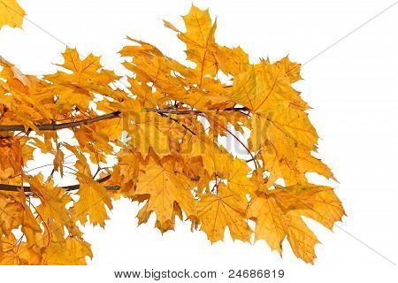 Yellow Maple Leaves Isolated