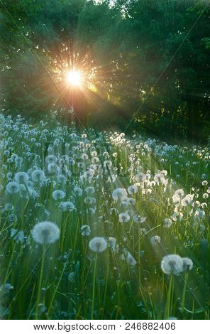 Forest Summer Landscape - Trees And White Fluffy Summer Dandelions On The Foreground Under Soft Sunl