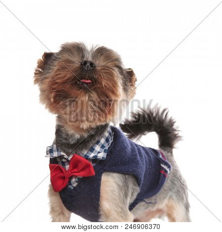 close up of small gentleman yorkie looking up while standing on white background poster