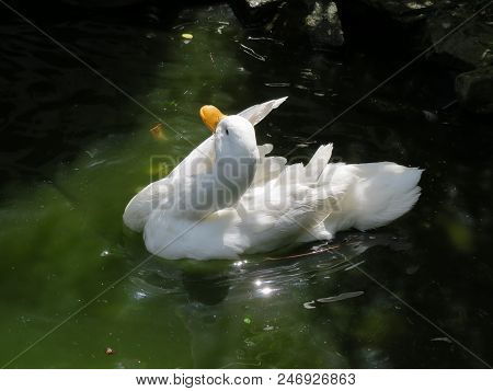 White Duck Bathing On Pond. Close Up Of A Female White Campbell Domestic Breed Duck Preening Her Fea