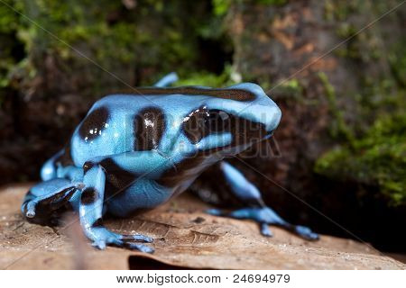 blue poison dart frog poisonous animal of Panama rain forest golden dartfrog